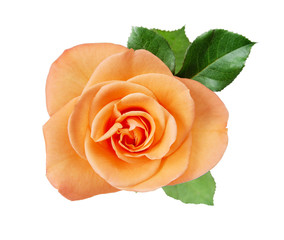 Pink rose closup on white