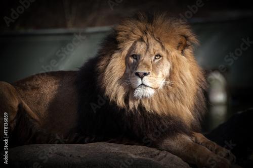 Löwe, Panthera leo Poster