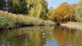 Autumn city park. Park in the fall. Ducks swim in the pond. Bright autumn trees in the park. Sunny day. Light breeze. - 178137440