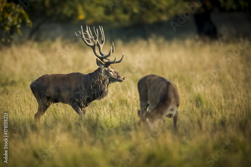 Fotobehang Hert deer, hunting season, deer rut