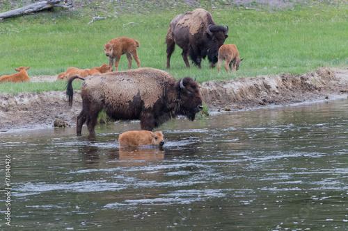 Aluminium Bison Buffalo herd with calves crossing river