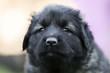 black dog . collie puppy