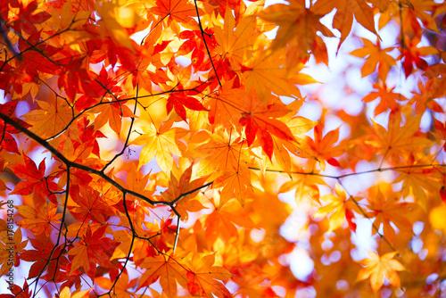 Deurstickers Oranje eclat 紅葉