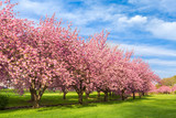 Cherry tree blossom explosion on a sunny April morning, in Hurd Park, Dover, New Jersey. - 178162051