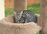 Savannah cat. Beautiful black spotted and striped Serval Savannah kitten with yellow eyes and a black nose on a cat tree outside.