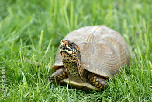 Fotobehang Schildpad A box turtle in lush green grass.
