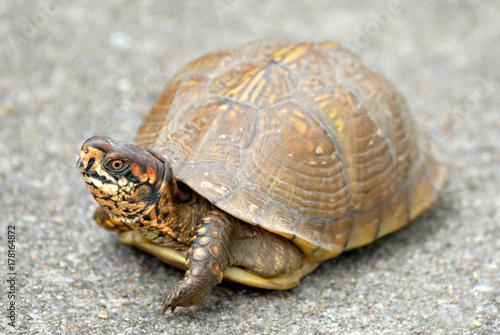 Fotobehang Schildpad A box turtle on a sidewalk.
