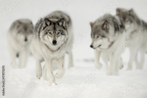 Fototapeta Wolf Pack on the Hunt