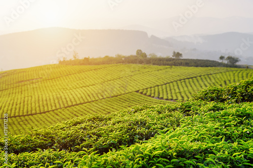 Bright green tea leaves at tea plantation at sunset