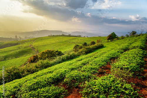 Fantastic view of amazing tea plantation at sunset