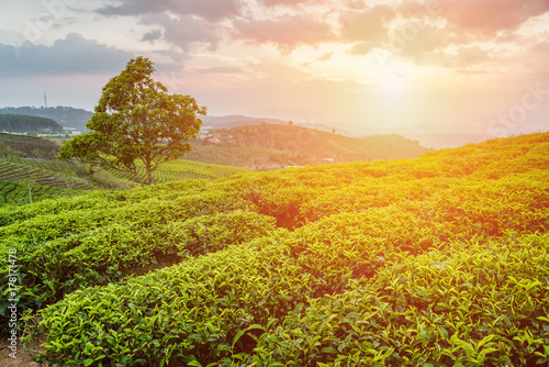 Bright green tea bushes and tree on sunset sky background