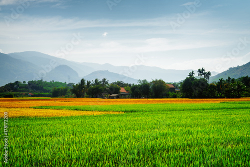 Colorful rice fields. Various phases of rice cultivation
