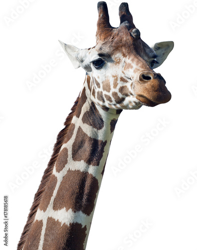 giraffe head isolated on white Poster