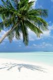 Coconut palm tree on Maldives island - 178199014
