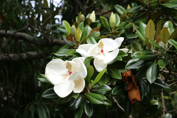 Magnolia grandiflora in Royal Botanic Gardens Sydney, New South Wales Australia