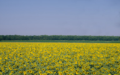 Endless field of giant sunflowers with blue sky. Taken in Lombardy, Italy during the spring
