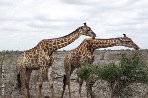 eating giraffes in the wild Poster