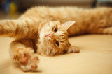 Fluffy red cat stretches on floor with open paw - 178234243