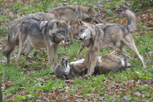 Aluminium Wolf Sozialverhalten Wolf