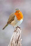 Pretty bird With a nice orange red plumage - 178237839