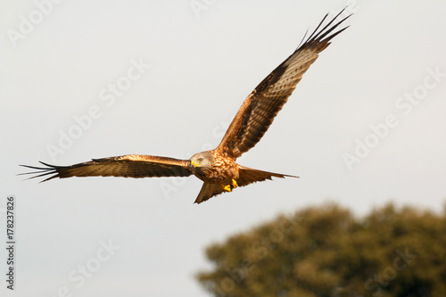 Awesome bird of prey in flight Poster