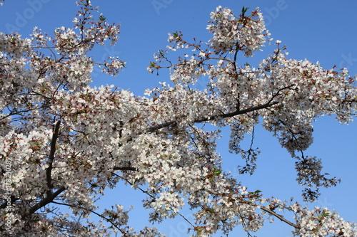 Aluminium Kersen Cherry tree with blooming flowers