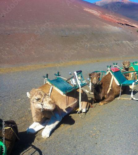Fotobehang Kameel Camels In Lanzarote
