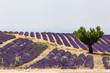 Champs de lavande de Valensole, Provence