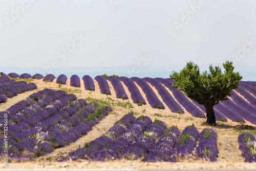 Keuken foto achterwand Lavendel Champs de lavande de Valensole, Provence