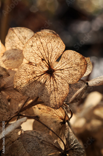 Fotobehang Hydrangea Close up of dry white hydrangea blossoms in winter. Winter sun backlight. Selective focus. Shallow depth of field.