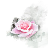 Beautiful blossom pink rose illustration. Watercolor painting (retouch). - 178302898