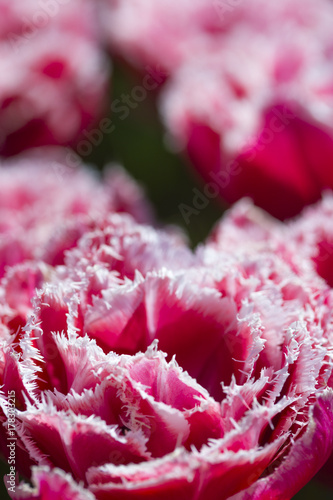 Foto op Plexiglas Bordeaux Nature and Botanical Concepts. Macro Shot of National Rose Dutch Tulips Of Queensland Kind Against Blurred Background. Located in Keukenhof National Park in the Netherlands.