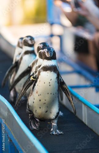 Fotobehang Pinguin Magellanic penguin, Spheniscus magellanicus