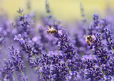 Lavender - 178317616