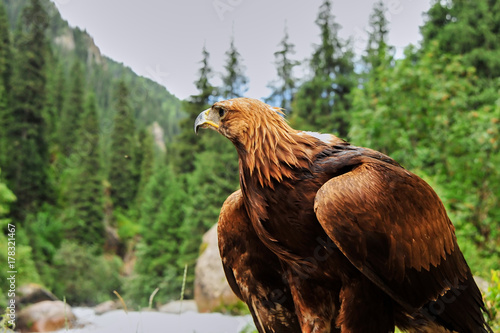 Fotobehang Eagle Golden eagle (Aquila chrysaetos). The golden eagle is one of the best-known birds of prey in the Northern Hemisphere. It is the most widely distributed species of eagle.