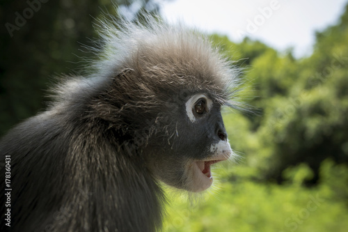 Aluminium Aap close up side view face of dusky leaves monkey