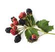Leinwanddruck Bild - Brombeeren, Rubus, fructicosa
