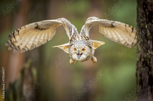 Fotobehang Natuur siberian eagle owl, bubo bubo sibiricus