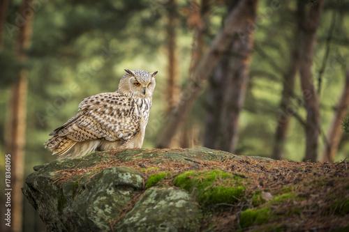 siberian eagle owl, bubo bubo sibiricus Poster