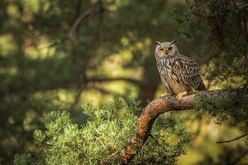 siberian eagle owl, bubo bubo sibiricus