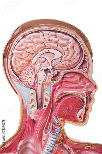 Anatomy Model Poster