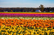 A field of colorful tulips in spring
