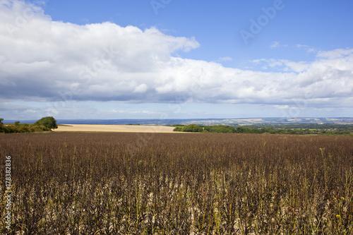 Fotobehang Diepbruine ripe bean crop and woodland