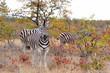 Zebra in the winter