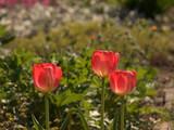 Tulpe mehrfarbi - 178395849
