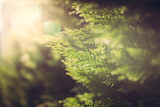 Cypress close up in sunlight - 178398008