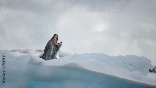 Fotobehang Antarctica Leopard Seal with mouth open on an iceberg in Antarctica
