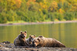 Alaskan brown bear family, mother and two cubs, relaxing on the beach of Naknek Lake with fall color on the hillside behind