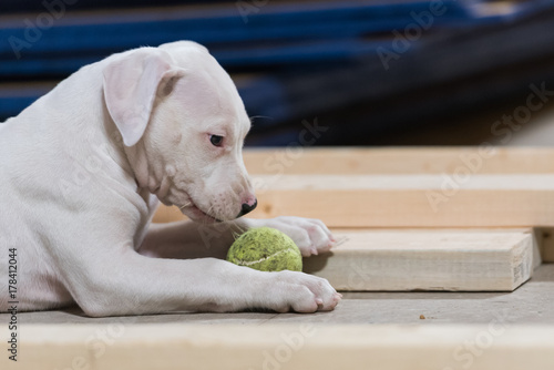 Poster Dogo Argentino puppy chews on a ball