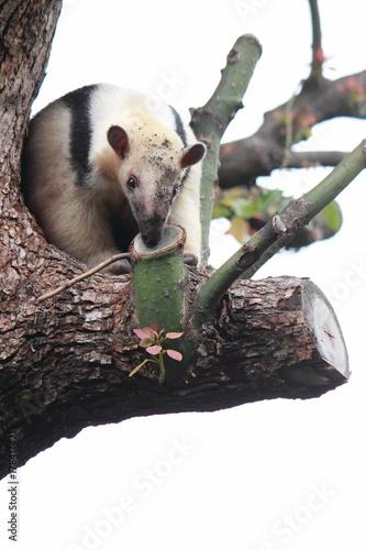 ミナミコアリクイ(Tamandua tetradactyla,anteater) Poster